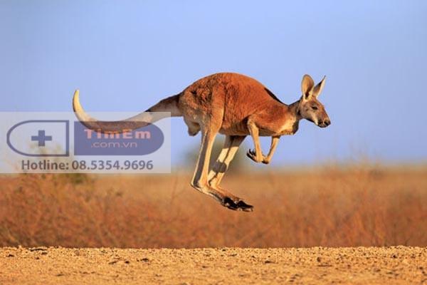 Tác dụng của Kangaroo